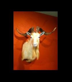 Spanish-Goat