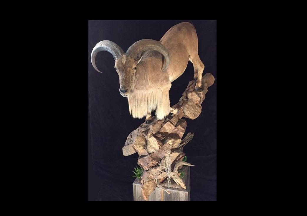 2016 State Champion Large Mammal Aoudad Sheep
